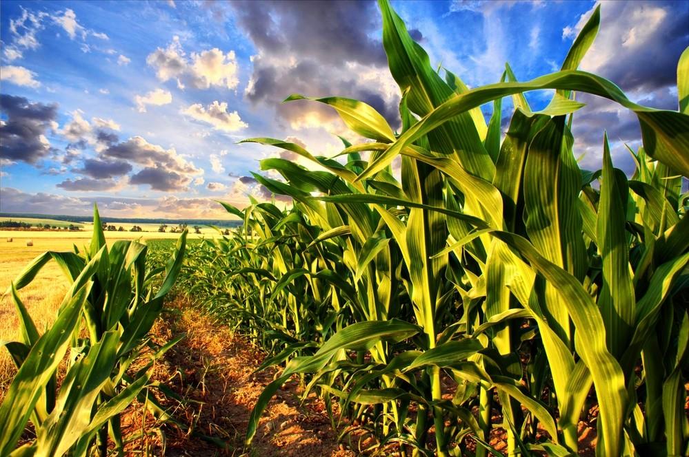 Кукуруза при грудном вскармливании